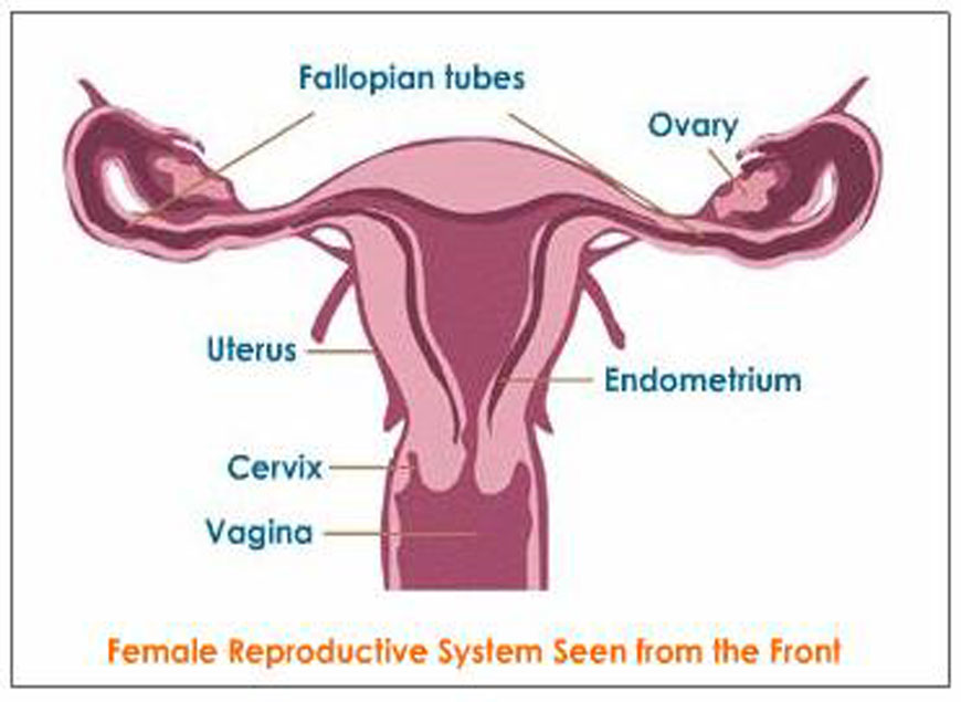 female-reproductive-system1