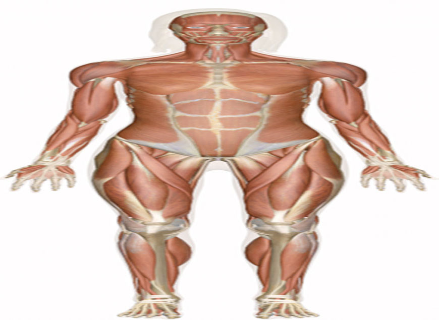 muscular-system_1