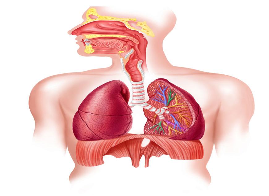 respiratory_system1